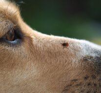 W jaki sposób usunąć kleszcza u psa?